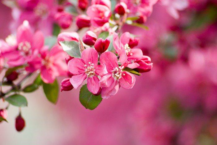 Sticker - Pixerstick Crabapple Blossom 1 - Themes