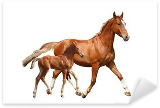 Sticker - Pixerstick Cute chestnut foal and his mother trotting on white background