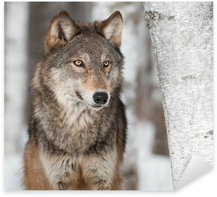 Pixerstick for All Surfaces Grey Wolf (Canis lupus) By Birch Tree