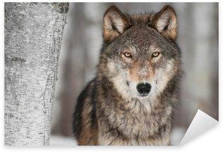 Sticker - Pixerstick Grey Wolf (Canis lupus) Next to Birch Tree