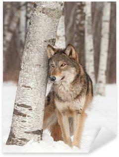 Sticker - Pixerstick Grey Wolf (Canis lupus) Stands Next to Birch Tree
