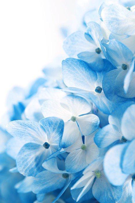 Sticker - Pixerstick Hydrangea flowers background - Flowers