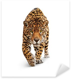 Jaguar - animal front view, isolated on white, shadow Sticker - Pixerstick