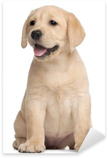 Sticker Pixerstick Labrador puppy, 7 semaines, en face de fond blanc
