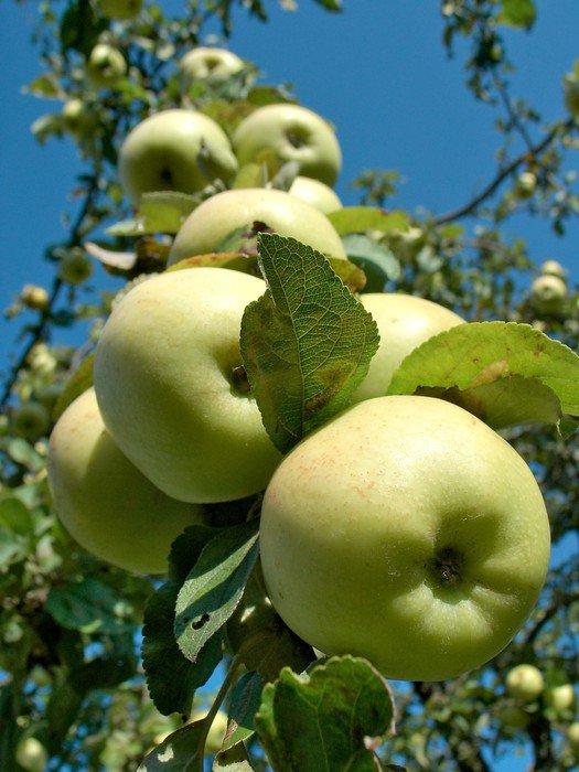 Sticker - Pixerstick rich harvest - Apple trees