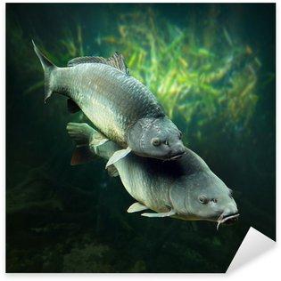 Underwater photo of a spawning Carps (Cyprinus Carpio). Sticker - Pixerstick