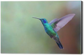 Tableau Alu-Dibond Vert Violetear colibri en vol au Costa Rica