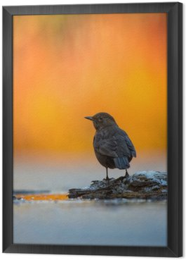 Tableau en Cadre Blackbird in Light Vivid