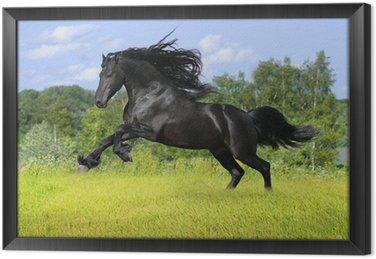 Tableau en Cadre Cheval frison noir jouer sur la prairie