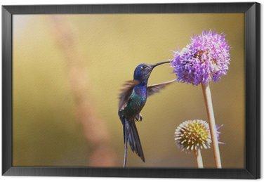 Tableau en Cadre Colibri alimentation sur la fleur