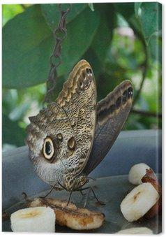 Tableau sur Toile Alimentation papillon sur les fruits en captivité