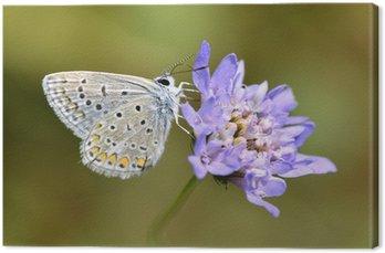 Tableau sur Toile Argus papillon alimentation sur scabieuse genre fleur