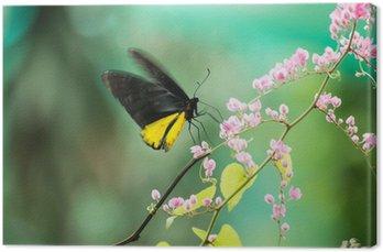 Tableau sur Toile Birdwing Butterfly commune se nourrissant de fleur de vigne de corail