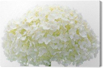 Tableau sur Toile Blanc fleur d'hortensia fleurs, gros plan macro isolé, Mophead