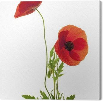 Tableau sur Toile Deux fleurs de coquelicot fond blanc