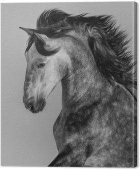Tableau sur Toile Étalon andalou gris pommelé - portrait en mouvement