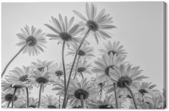 Tableau sur Toile Gros plan des fleurs blanches marguerites