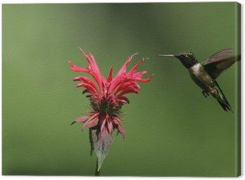 Tableau sur Toile Hummingbird se nourrissant de mélisse