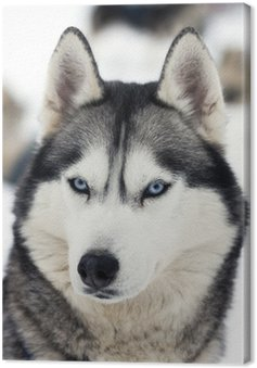 Tableau sur Toile Husky portrait