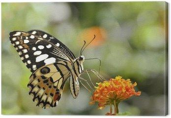 Tableau sur Toile Lime papillon (Papilio demoleus) alimentant sur la fleur