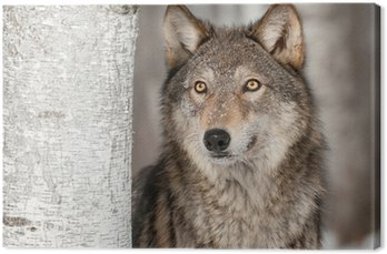 Tableau sur Toile Loup gris (Canis lupus) Look Up