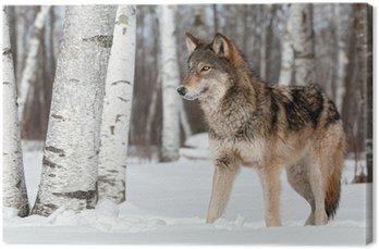 Tableau sur Toile Loup gris (Canis lupus) Stands Vers Gauche