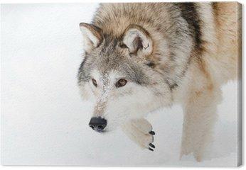 Tableau sur Toile Loup rôder