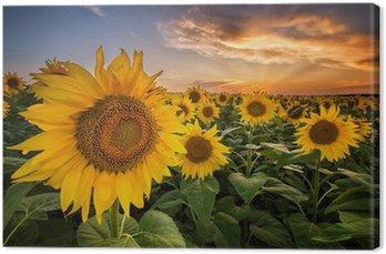 Tableau sur Toile Magnifique coucher de soleil sur un champ de tournesol