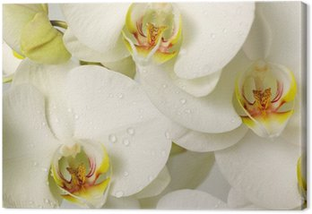 Tableau sur Toile Orchidees blanches