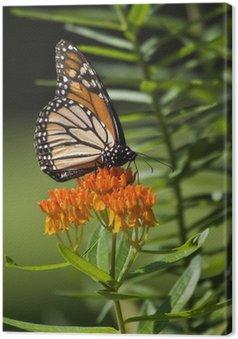 Tableau sur Toile Papillon monarque se nourrit sur Orange asclépiade