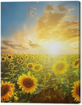 Tableau sur Toile Paysage d'été: la beauté coucher de soleil sur champ de tournesols