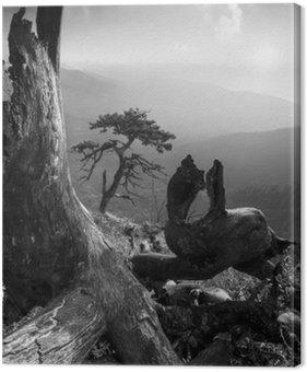 Tableau sur Toile Pinetree sur une colline de monuntain. Noir et blanc