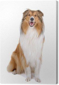 Tableau sur Toile Rugueuse colley (écossais) Scottish berger (Lassie)
