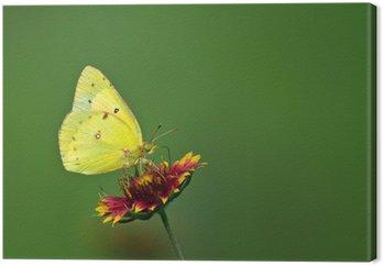 Tableau sur Toile Soufre orange papillon se nourrissant de fleur couvrante indienne