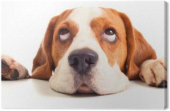 Tableau sur Toile Tête beagle isolé sur blanc
