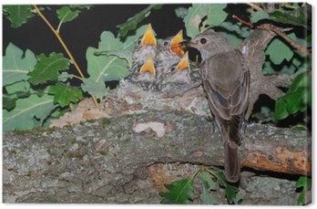 Tableau sur Toile Un Moucherolle repéré au nid insectes se nourrissant de poussins