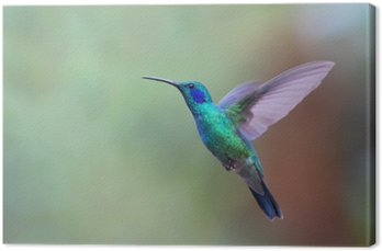 Tableau sur Toile Vert Violetear colibri en vol au Costa Rica