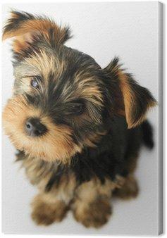 Tableau sur Toile Yorkshire terrier - portrait d'un chiot mignon