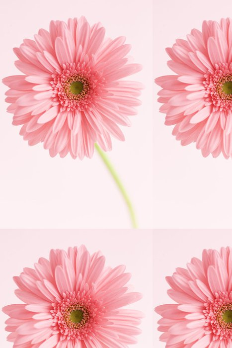 Tapeta Pixerstick ガ ー ベ ラ の 花 - Květiny