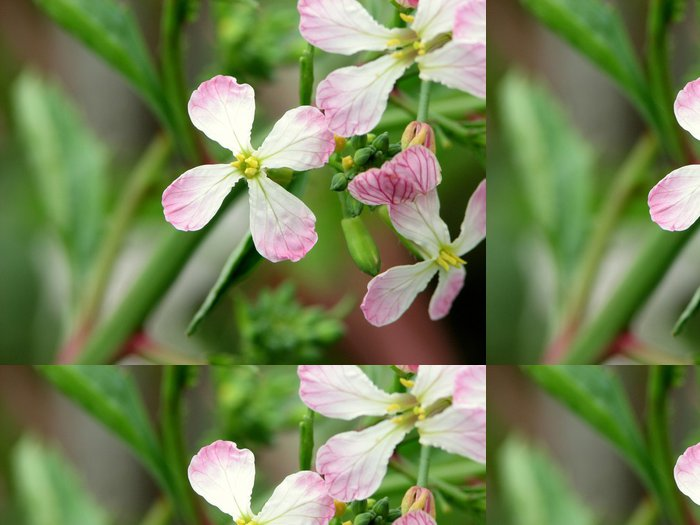 Tapeta Pixerstick は つ か 大 根 の 花 - Zelenina