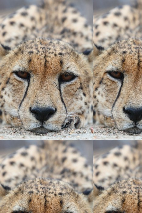 Vinylová Tapeta African Cheetah - Savci