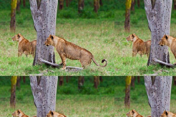 Tapeta Pixerstick Afričtí lvi v národním parku Lake Nakuru v Keni - Afrika