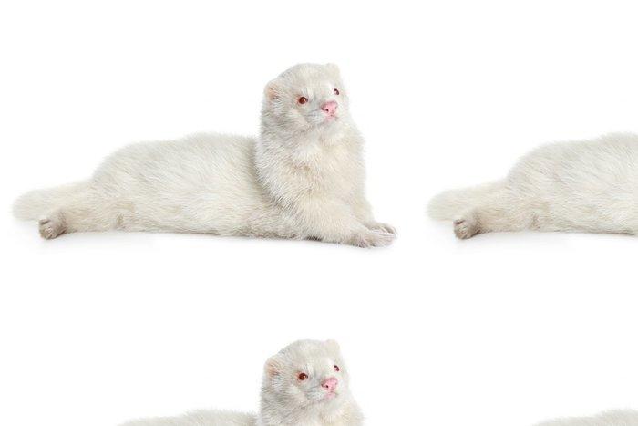 Tapeta Pixerstick Albino fretky, ležící na bílém pozadí - Savci