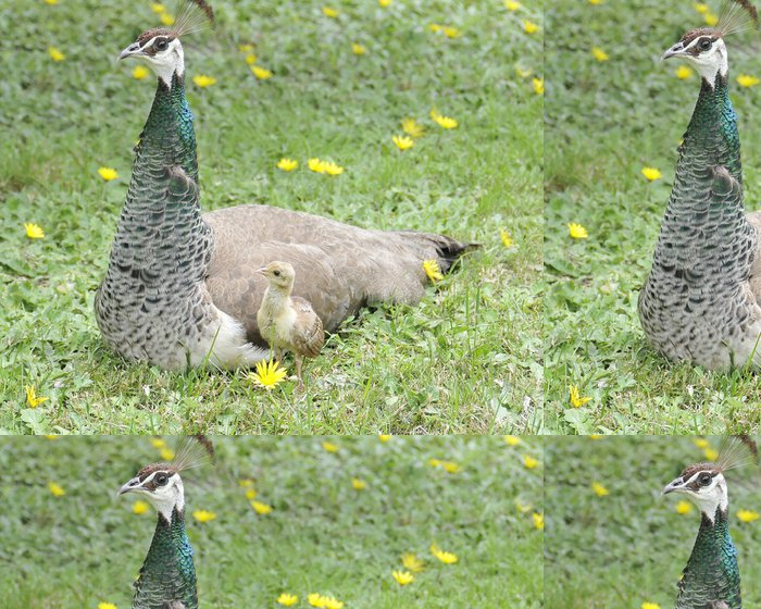 Tapeta Pixerstick Alert Peahen s New Chick - Ptáci