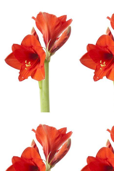 Vinylová Tapeta Amaryllis květ izolovaných na bílém - Úspěch