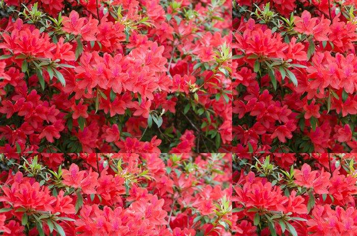 Vinylová Tapeta Azalka kvete na stromě (Rhododendron simsii Planch) - Květiny