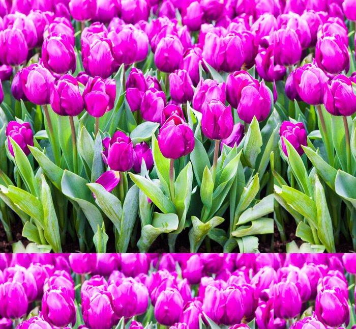 Tapeta Pixerstick Barevné tulipány. Krásné jarní květiny. pozadí květin - Květiny