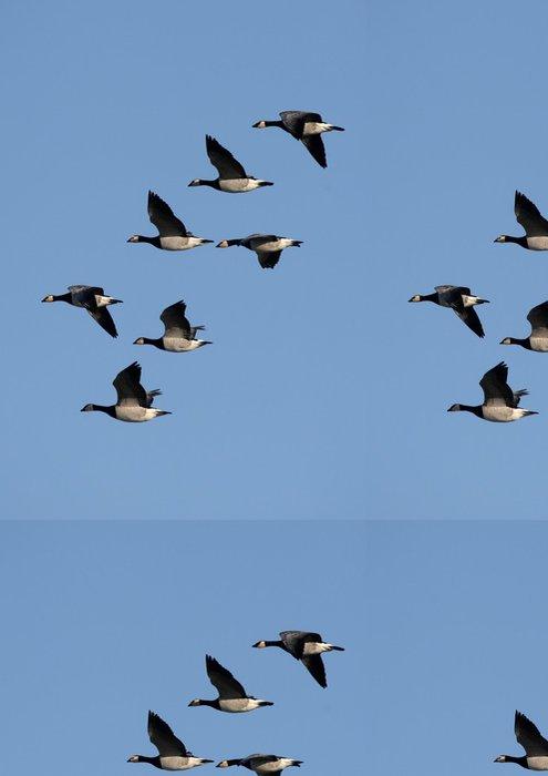 Vinylová Tapeta Barnacle Goose (Branta leucopsis) - Ptáci