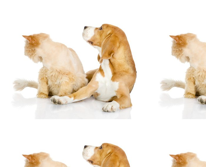Tapeta Pixerstick Beagle a perská kočka. dívat se jinam. izolovaných na bílém - Savci