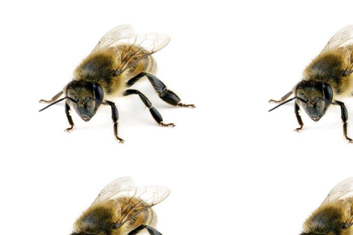 Tapeta Pixerstick Bee, Apis mellifera, evropské nebo západní včela medonosná - Ostatní Ostatní